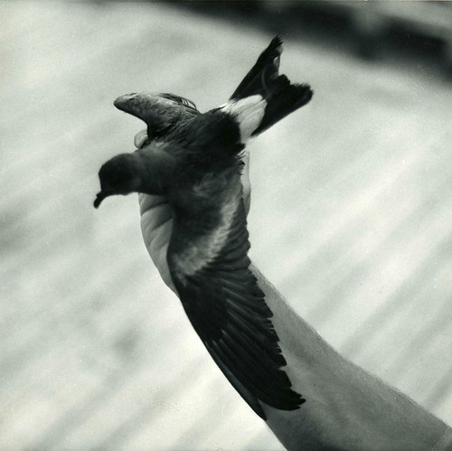 Leach's storm petrel, at sea (Pacific Ocean), circa 1961-1973. | by Smithsonian Institution