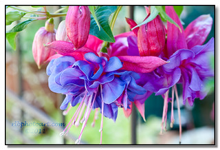 Fuchsia 2011 - Explored | by rlbphotoart