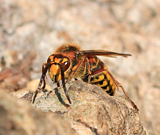 Hornet_8066 | by Penny Metal