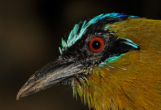 Blue-crowned motmot | by Springhare