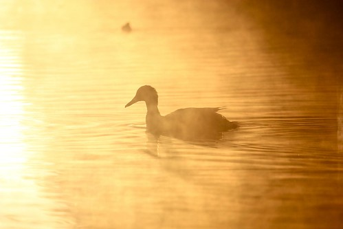 Ducks through the sunrise fog (London) | by runintherain