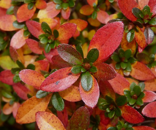 Red azalea leaves | by Dendroica cerulea
