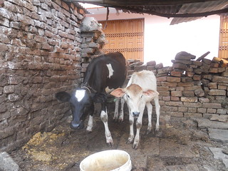 (Re)searching cows in Banaras: Calves wait for their mothers to be done being milked | by beauabroughton