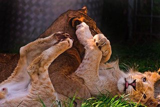 Zumba and Timba playing II | by Tambako the Jaguar
