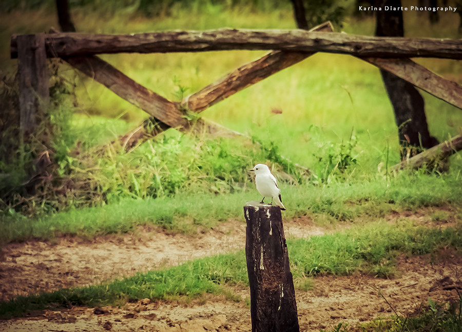 Monjita blanca - Xolmis irupero