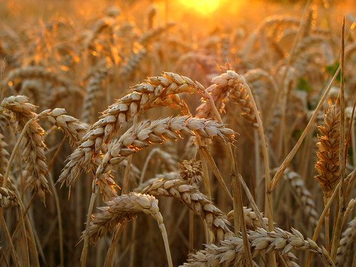 Wheat in golden Evening Light - - - Thanks for 100.000 views on this image !!! | by Batikart ... O F F !!!