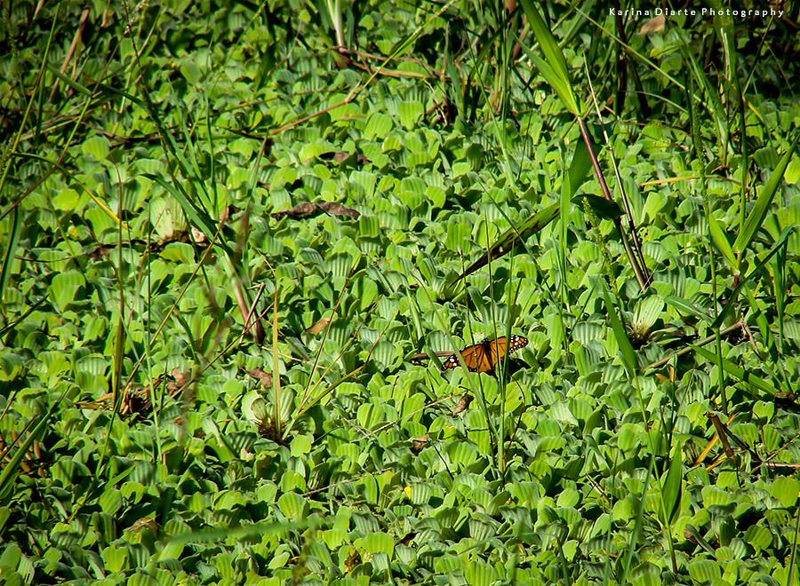 Mariposa Monarca - Danaus plexippus
