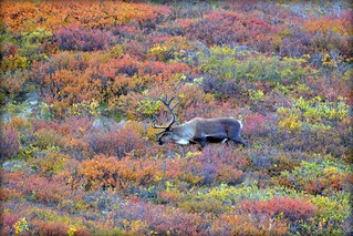 Caribou in Autumn - Animal - Wildlife - Alaska | by blmiers2
