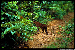 One of the first handheld photos of a living African golden cat | by Panthera Cats