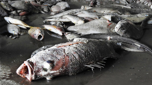 hàng tấn cá chết bất thường không rõ nguyên nhân  trôi dạt vào vùng biển Quảng Trị. Ảnh: Trần Tĩnh