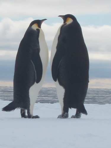 Emperor penguins at the ice edge