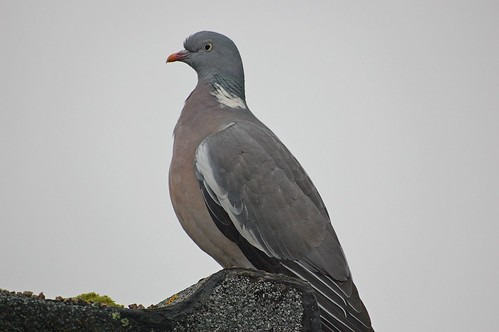 Woodpigeon on the roof | by DaveJC90