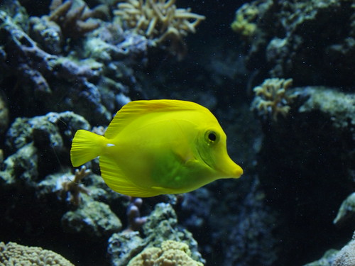 Yellow fish aquarium tropical de la porte dor e paris fr flickr - Aquarium tropical de la porte doree ...