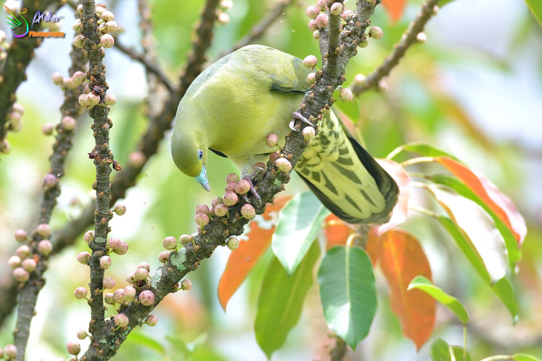 Japanese_Green_Pigeon_8576