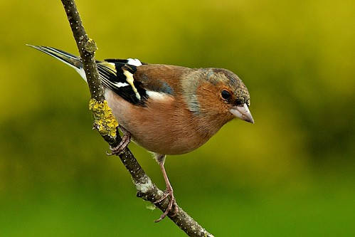 Chaffinch | by stanley.ashbourne