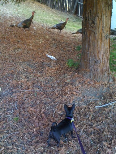 1turkey herding bailey joan morris wc | by Contra Costa Times