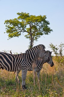 Zebra Pair | by Luke Robinson