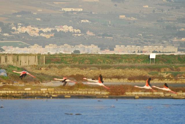 Saline di Trapani e Paceco (Sicily) - Pink flamingos