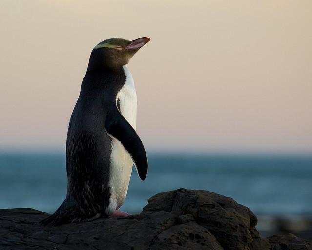 Yellow Eye Penguin Satisfaction - Curio Bay - 1920px