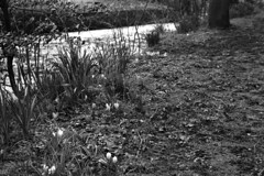 Crocuses by Pendle Water