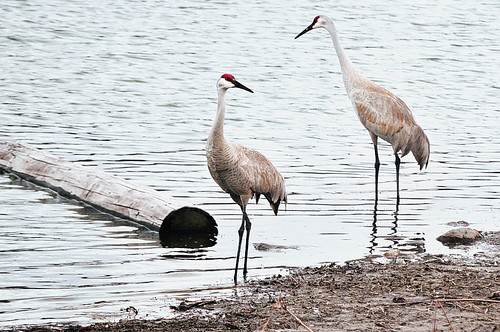 The Sandhill Cranes Are Back | by Madison Guy