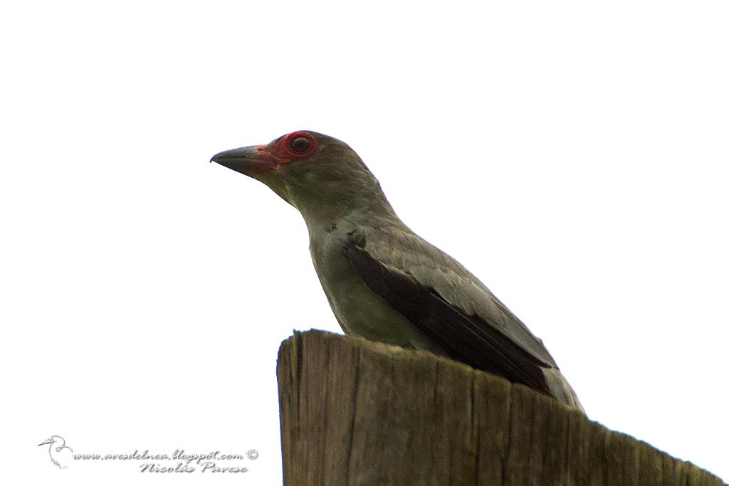 Tueré grande (Black-tailed Tityra) Tityra cayana