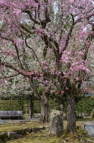 聚遠亭 枝垂桜