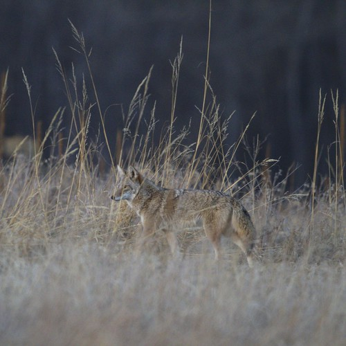 Coyote tailing deer | by dcstep