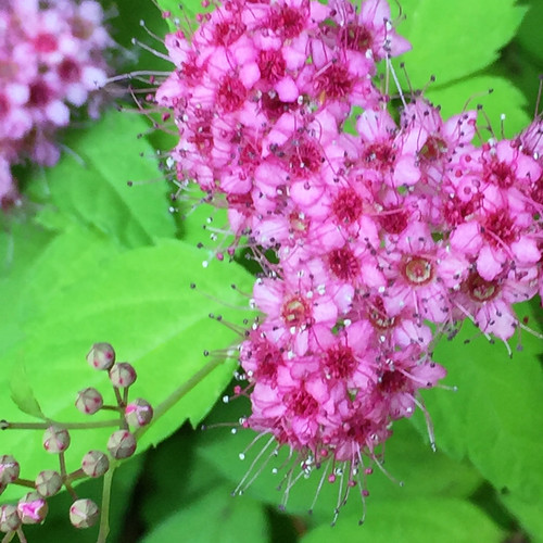 Spiraea japonica 'Walbuma' - Magic Carpet Spirea