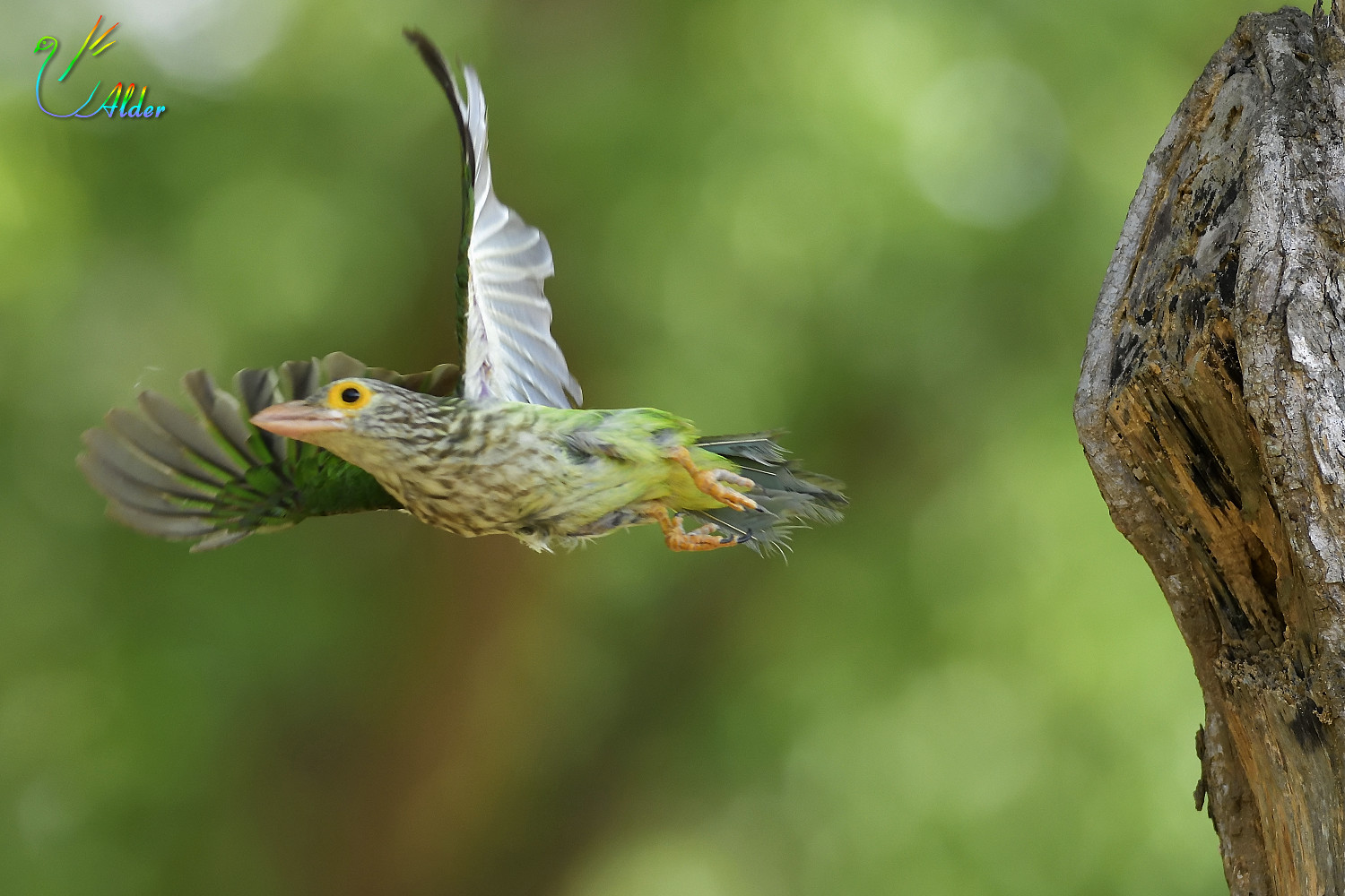 Lineated_Barbet_7138