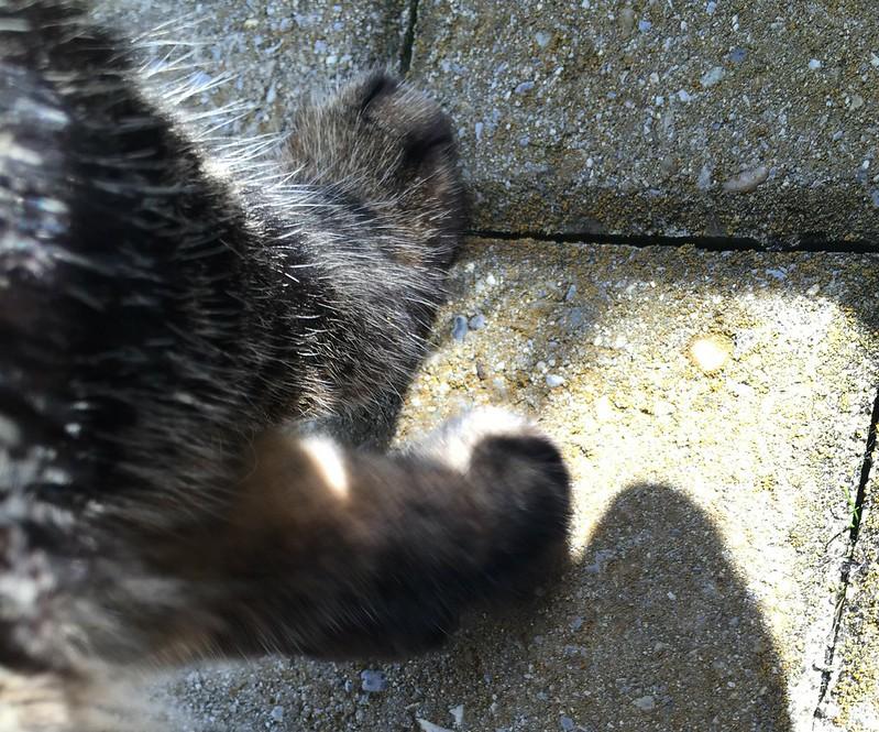 Tabby paw