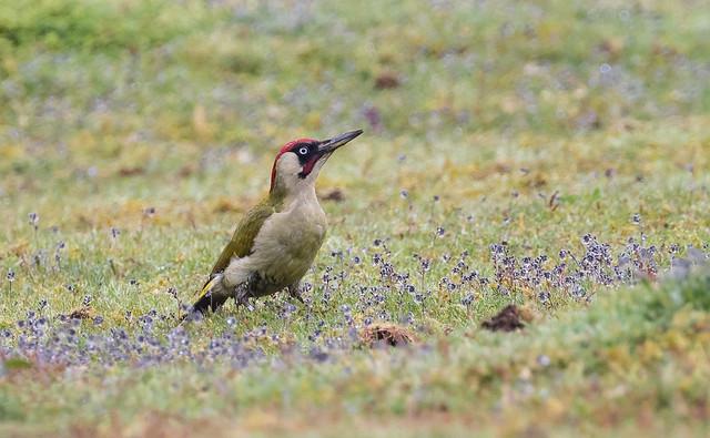 green woodpecker 040c (120)