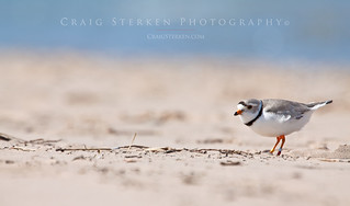 Great Lakes Piping Plover | by Craig - S