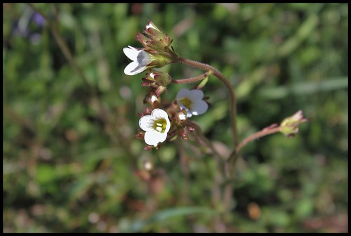 Saxifraga granulata (3)