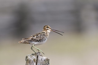 Wilson's Snipe | by 1AGFOXXX