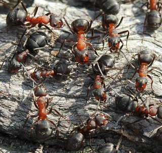 Wood Ants (Formica rufa) | by RiverCrouchWalker