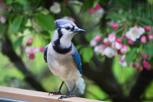 Bluejay-1322 | by ceremus