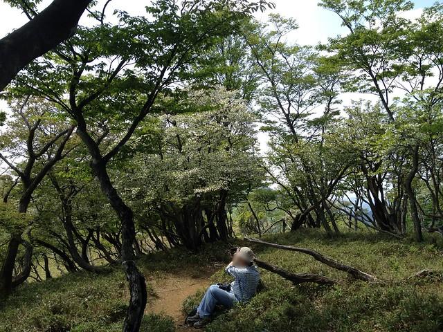 竜ヶ岳 遠足尾根 シロヤシオ
