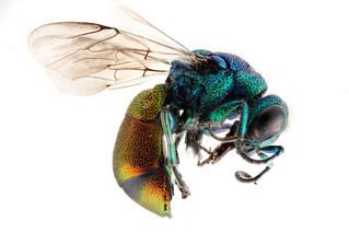 Pseudospinolia-neglecta,-side