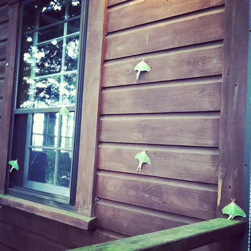 Five Luna moths greeted me on my return from an early morning run! | by mayalu