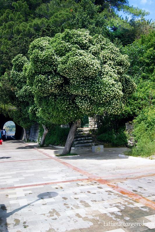 Пттоспорум на шеталиште в Херцег Нови