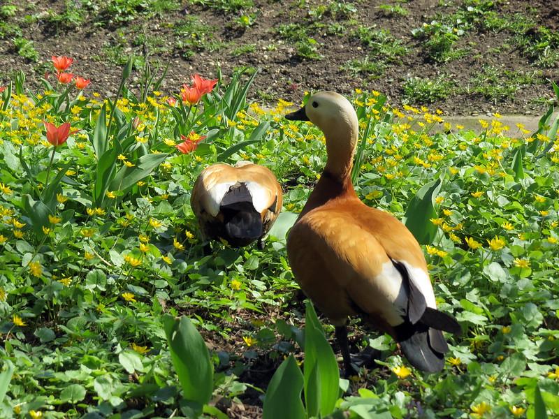 Утки в тюльпанах