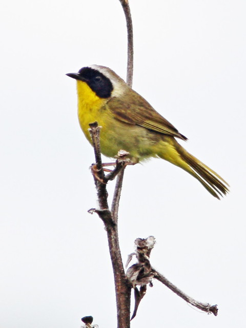 Common Yellowthroat 2-20160628