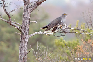 Morden Bog Cuckoo | by Dom Greves