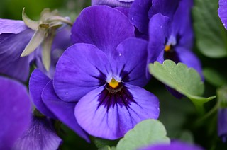 My Neighbors' Violets | by slgckgc