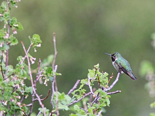 Broad-tailed Hummingbird 06-20160612