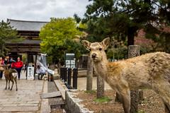 Nara Chugger 2