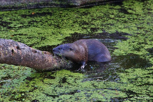 Otter @CBBR - IMG_5487 60D *Video Link | by Brandohl Photography [Wendy]