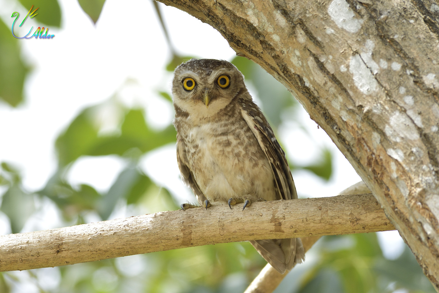Spotted_Owlet_7067