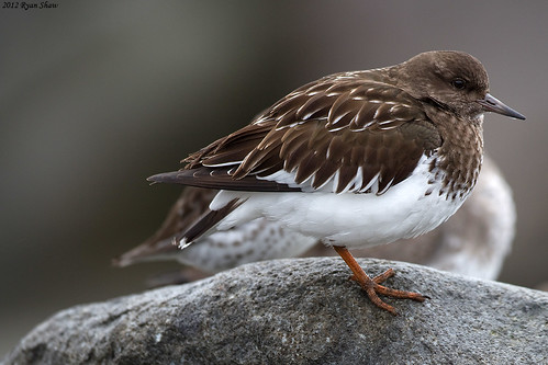 Black Turnstone (Arenaria melanocephala) | by *Ryan Shaw